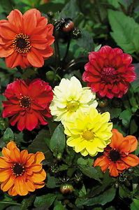 Dwarf Dahlia Bloody Mary Mix Seeds Perennial Annual Nice Extra Compact Plants