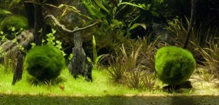 Live Aquarium Plant Nano Marimo Moss Ball 10mm Round
