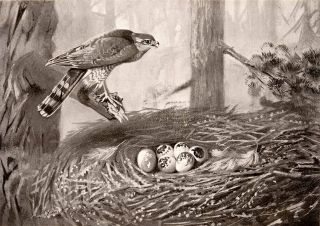 1906 Print Frank Southgate Sparrow Hawk Nest Bird Eggs Tree Babies Hatching Art